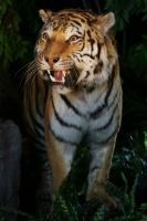 4_siberie-tigre-de-lamour.jpg